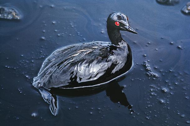 Стив Маккарри. Баклан, попавший в нефтяное пятно у берегов Саудовской Аравии, 1991.